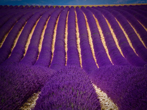 .: Young Living Lavender, Lavender Fields, Farms, Violets, Flower Fields, Blog, Canon Eos, Provence France, Full Bloom