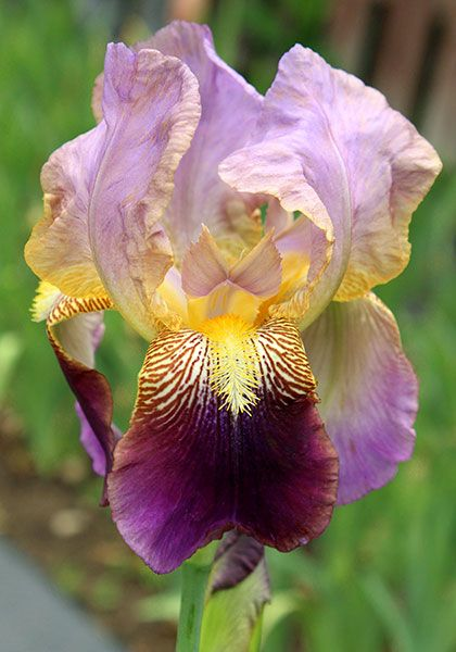 "FRANCHEVILLE IRIS, 1927. By Ferdinand Cayeux, perhaps the greatest iris breeder of all time, this big, stately iris features pale, rippled standards of lilac and fawn over falls of deep, velvety maroon shading to violet. 38-46"". Zones 3a-8a (10aWC). ~ oldhousegardens.com"