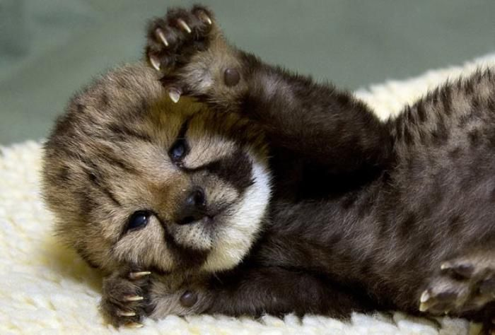 baby cougar | Cougars | Pinterest | Babies and Search