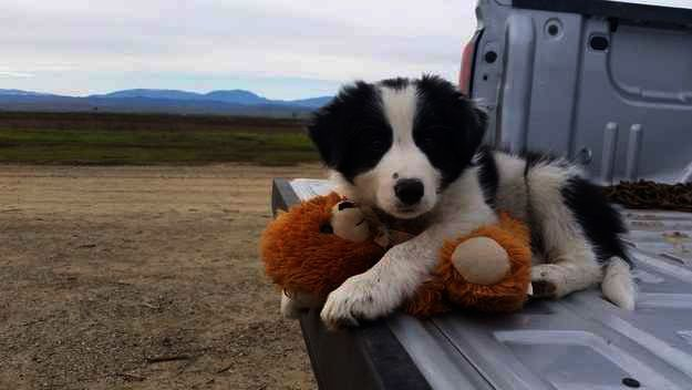 Why Is My Stocking Empty Collie Puppies Puppy Breeds Cute Animals