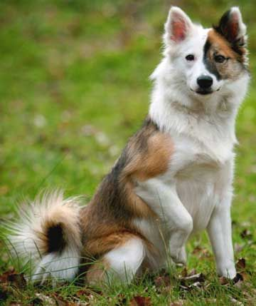 icelandic sheepdog - Google Search