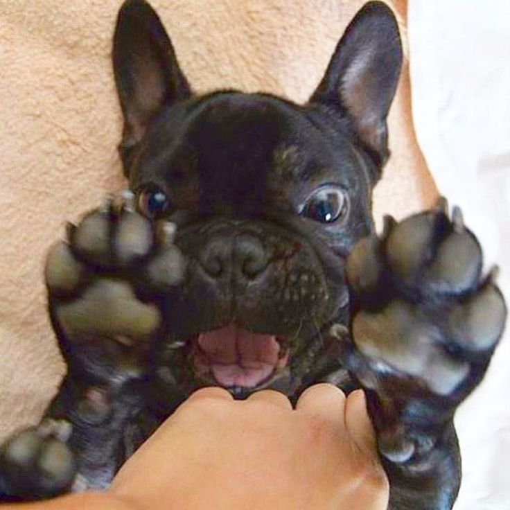 'Epic Tickle Fight!', French Bulldog Puppy❤❤❤❤