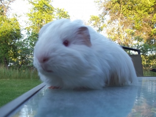 Gizmo the #guineapig enjoying the great outdoors!!: Photos, Gizmos, Guineapig Enjoying, The Great Outdoors, Piggy, Pretty Pictures, Guinea Pigs