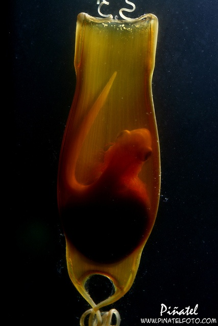 Shark egg case