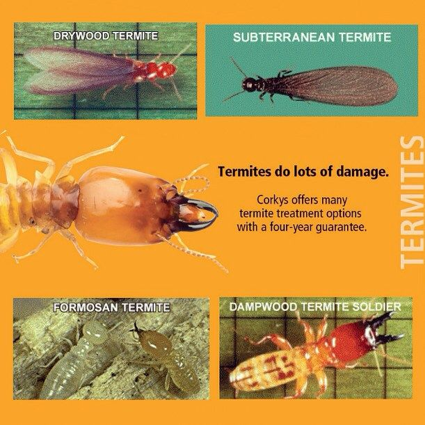 Got a termite problem?! Let us help you out! Don't hesitate to call us at 1 (800) 901-1102 for a fumigation and radar quote today! There are 4 different types of termites we can help you look out for. So out any of these look familiar we got you covered! #wecontrolpests #termitethursday #termites #pestcontrol #pestmanagement #pestpros #corkys #corkyspestcontrol #subterranean #drywood #formosan #dampwood