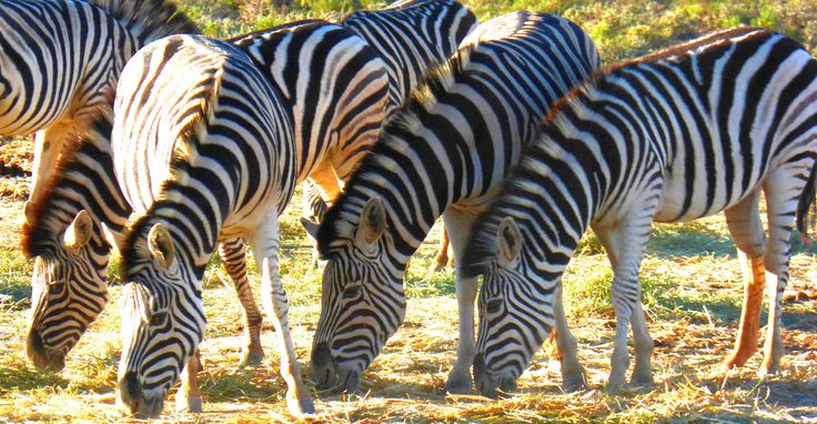 Zebras at @Inverdoorn #capetown #southafrica #wildlife