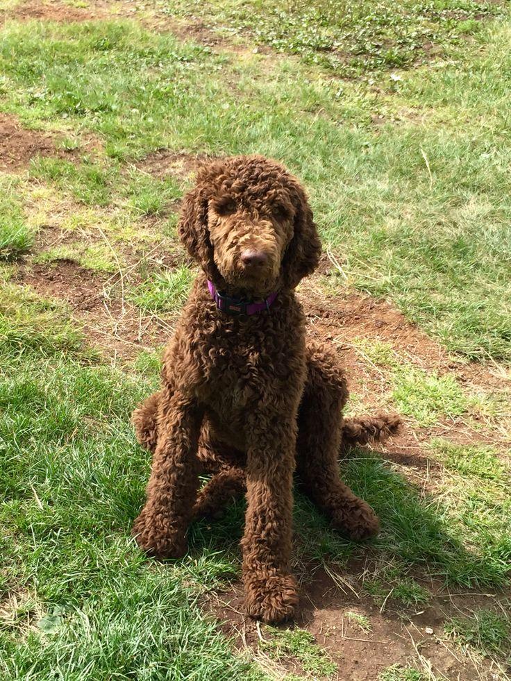 6 Months Old Mr Riggins From Royal Standard Poodles Breeder