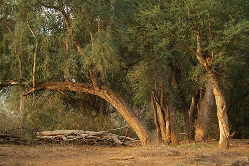 Google Image Result for http://www.afrecotours.com/images/walking_safaris_trails_africa/reverine_habitiat_in_tuli_block_botswana_walking_safaris.jpg
