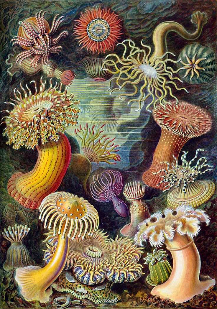 The 49th plate from Ernst Haeckel's Kunstformen der Natur of 1904, showing various sea anemones classified as Actiniae