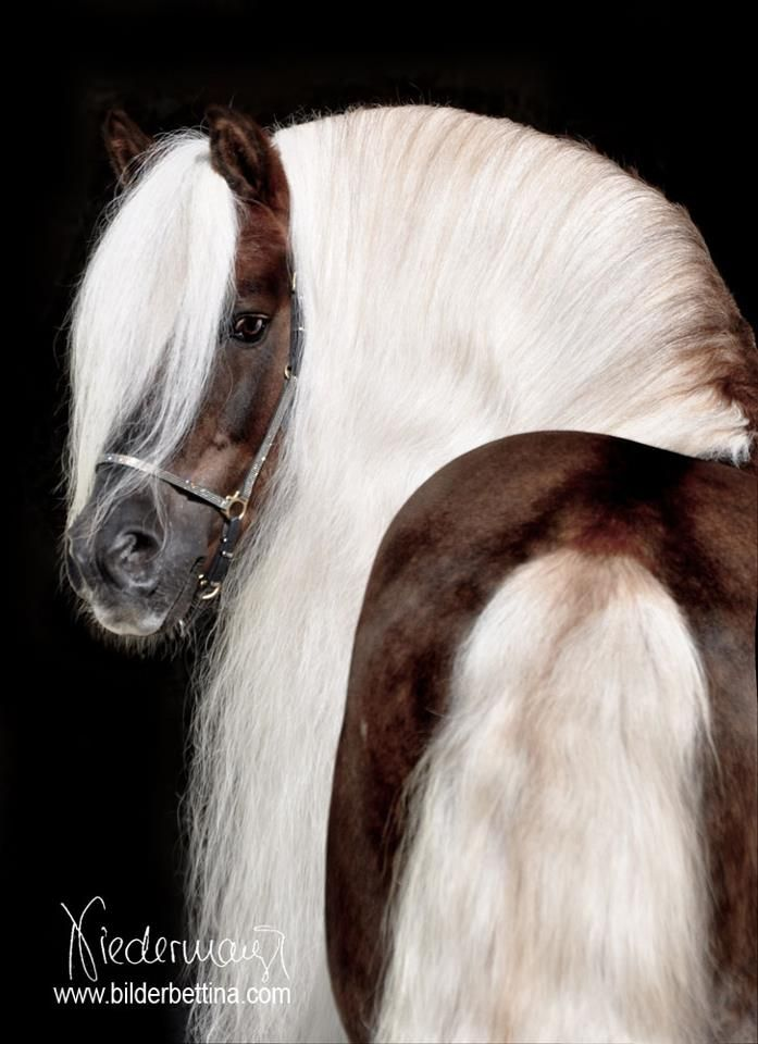 A silver dapple Haflinger! Shut the front door!