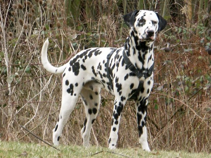 Pakistan Dalmatian Breeders , Grooming, Dog, Puppies, Reviews, Articles ...