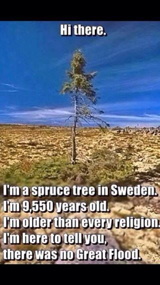Spruce tree disproves biblical floods - 9,550 year old tree