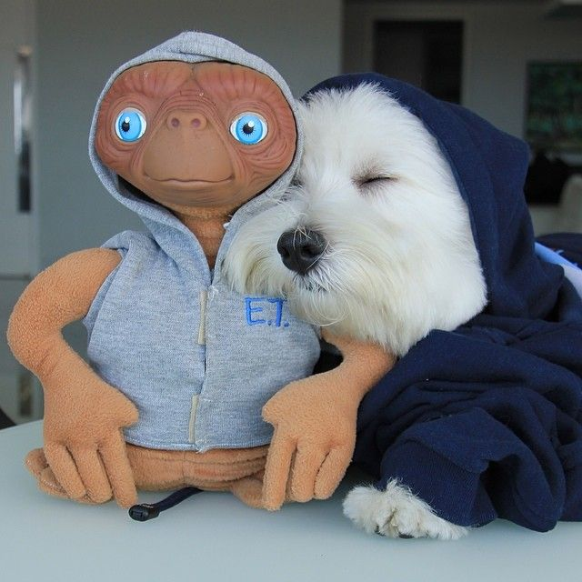"@oliverthewestie's photo: ""A shoulder to cry on ☺️ (Um ombro amigo) #ET"" #westie #dogs"