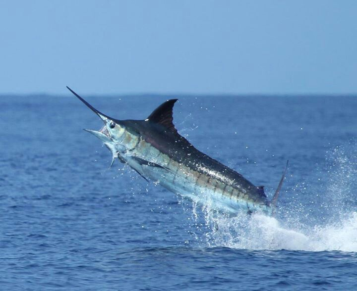 126 best amazing billfish images on pinterest sport for Blue fish florida