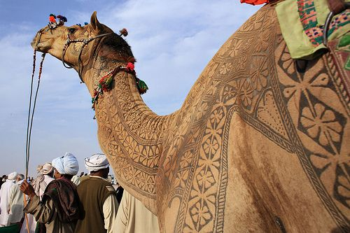 In India, Camels Get Designer 'Tattoos' - Every year, Bikaner (largest city in India) Rajasthan—that's mostly made up of desert—hosts a Camel festival. As part of the annual festival, camel contests are held—where camels are decked out elaborate draping, buckles, saddles and 'tattoos'. The natives don't use iron engraving, rather they just cut and dye the desert animal's hair for three years—until they achieve their desired outcome of the 'tattoo' to parade the animal for the contest.