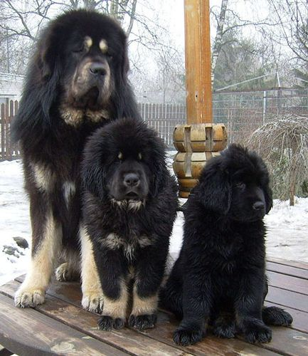 Tibetan Mastiffs GAH!! <3  I think I prefer English Bull Mastiff's but I'd take one of these too.