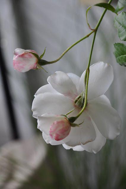 *❥ڿڰۣ- au nom de la rose