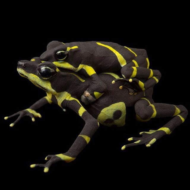 photo by @joelsartore | A breeding pair of #endangered Limosa harlequin frogs at the Panama Amphibian Rescue and Conservation Project @amphibianrescue.