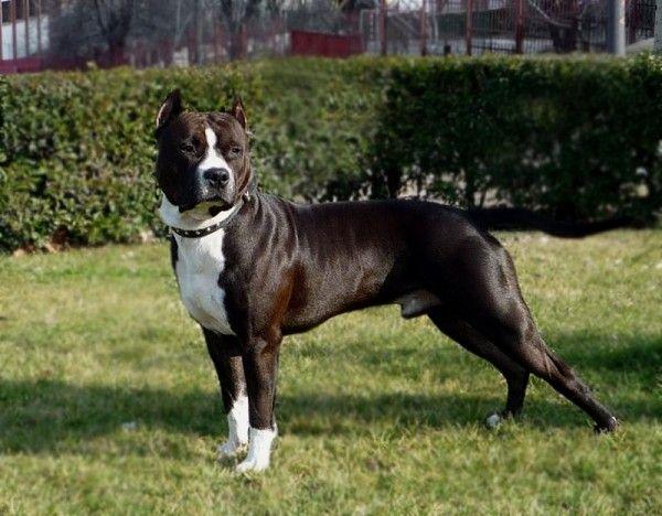 Американский стаффордширский терьер – умная и необычная собака. Амстаффы истинные бойцы по духу, но ласковы и преданны хозяину.