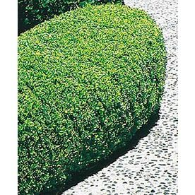 2-Gallon White Winter Gem Boxwood Foundation/Hedge Shrub (L3447) Nursery