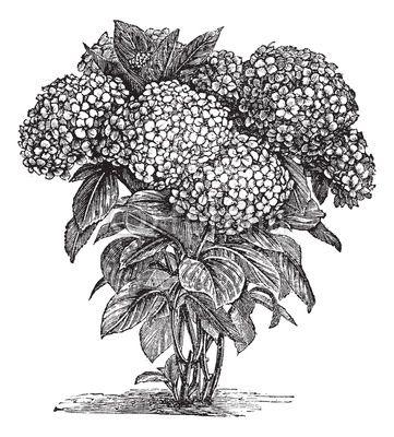Carta da parati bigleaf ortensia o hydrangea macrophylla incisione d'epoca - vettoriali • PIXERS.it