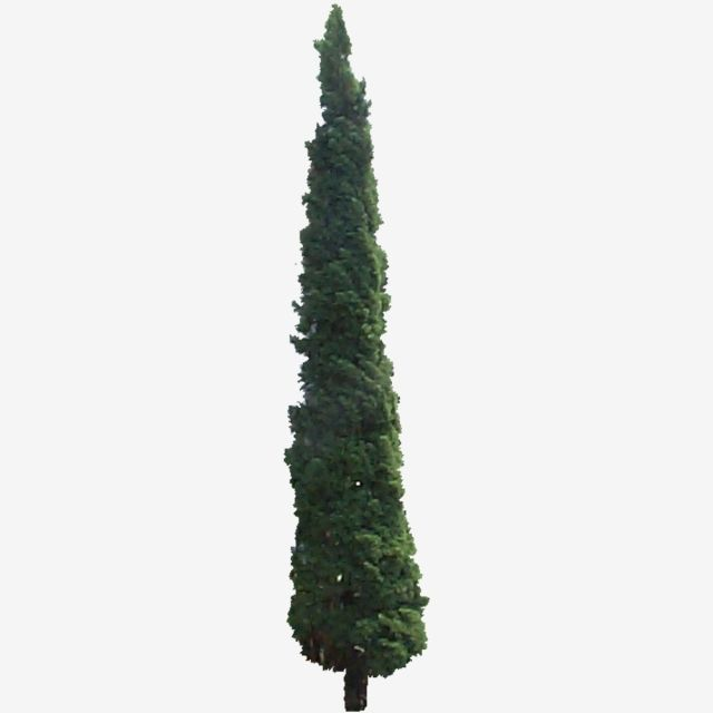 Cupressus Sempervirens Cemara Lilin Cupressus Sempervirens Cemara Lilin Pohon Png Transparent Clipart Image And Psd File For Free Download Cupressus Sempervirens Sempervirens Italian Cypress Trees