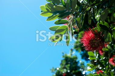stock-photo-44682716-new-zealand-pohutukawa-and-sky