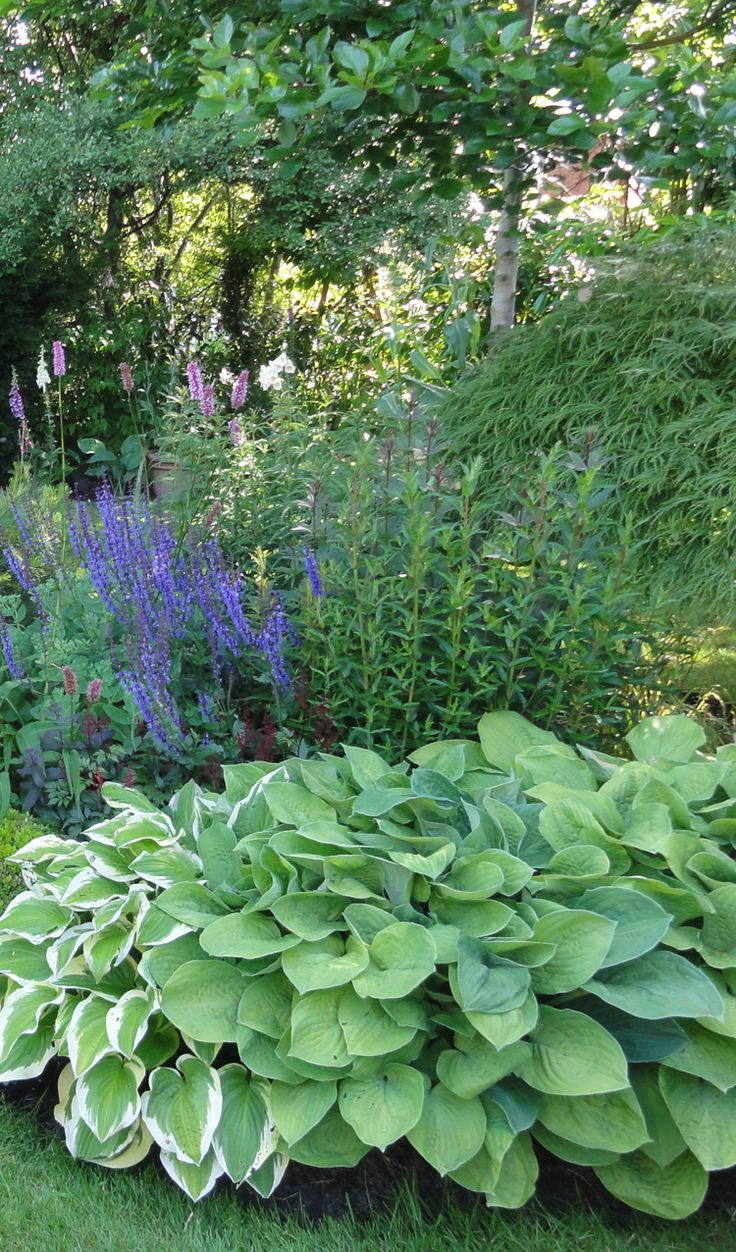 hostas in the clay soil garden of caroline benedict smith garden design cheshire - Garden Design Cheshire