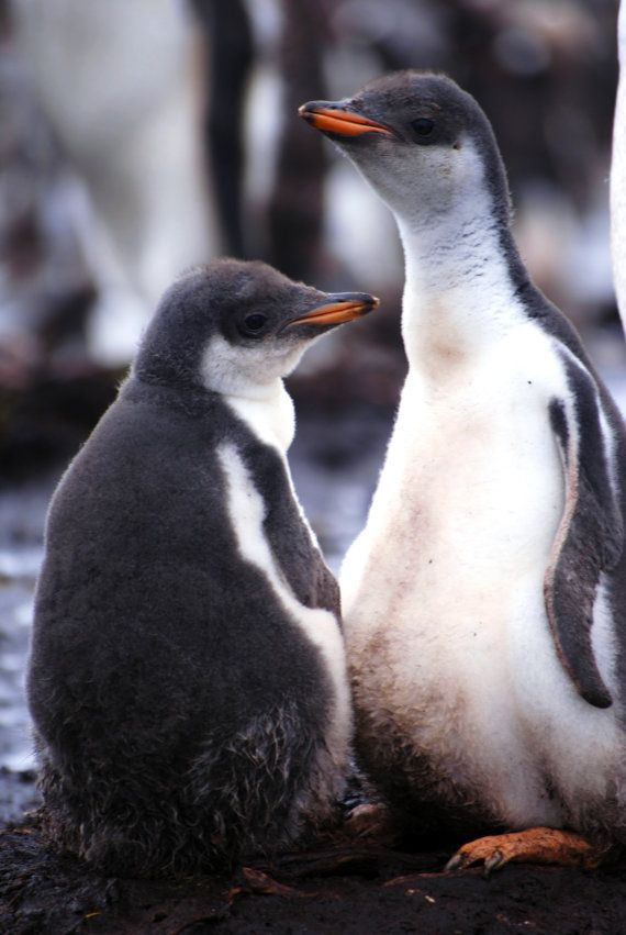 Gentoo penguin chicks at Kidney Point in the Falkland Islands print available on Etsy.