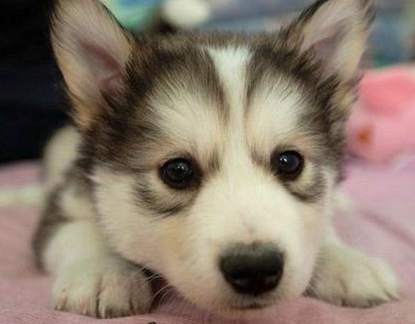 He needs to be my friend: Cute Baby, Animal Pictures, Puppys Eye, Husky Puppys, Animal Baby, Baby Husky, Baby Animal, Baby Dogs, Golden Retriever