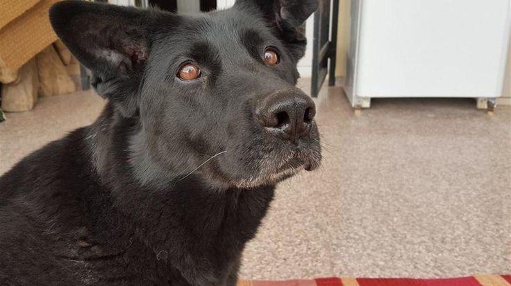 Se busca familia para Laki, una perra jubilada del Ejército muy cariñosa. – AdriBosch's Magazine