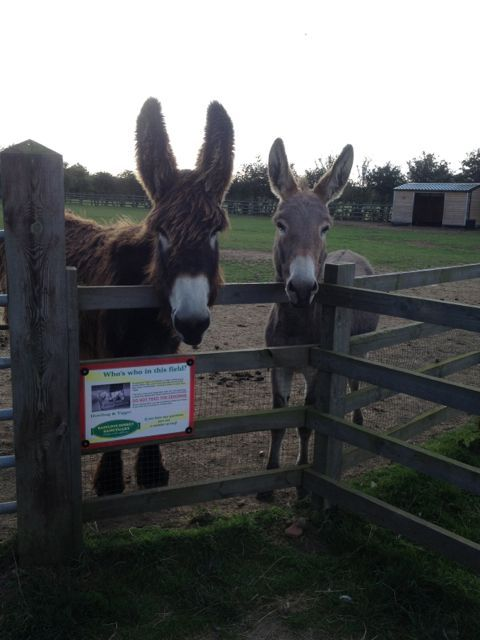 Donkey Sanctuary, Huttoft - This donkey's ears are nearly as big at the donkey itself!