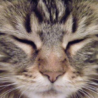 "Maine Coon named ""Scout"".  Love it!: Cats, Maine Coons, Coon Scout, Named Scout, Coon Named"