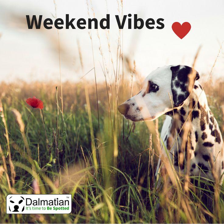 Weekend vibes. Happy weekend. Dalmatian.
