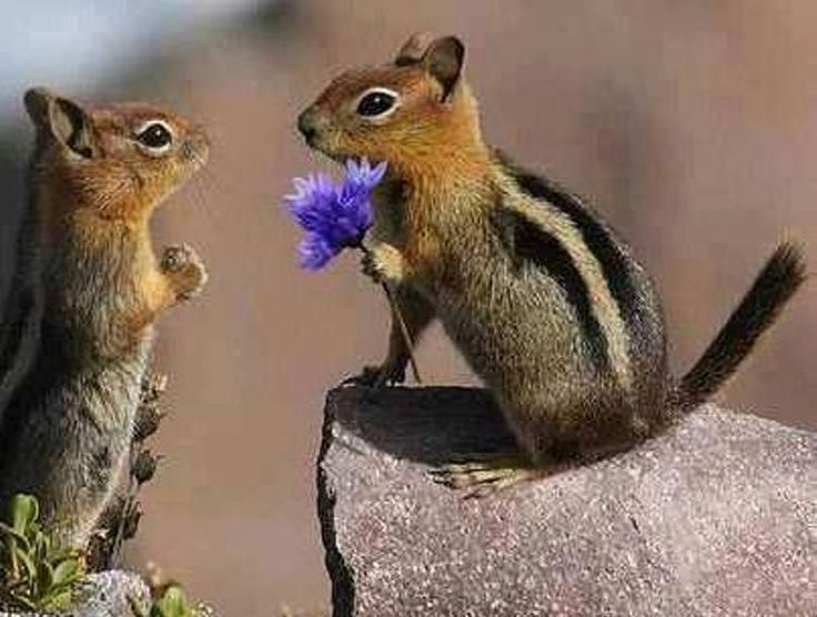 ♥✤♥chipmunk marriage proposal ♥✤♥