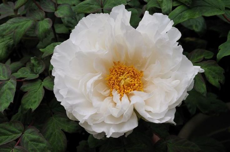Uses of White peony root..