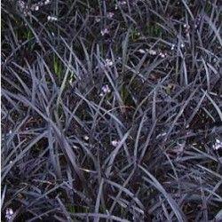 Feketelombú kigyószakáll - Ophiopogon planiscapus Niger  A feketelombú kígyószakáll Örökzöld, sűrűn növekvő színes levelű terjedő tövű díszfű. Frissen kihajtott levelei lilás-zöld, majd mély lilás feketés levélszínű.