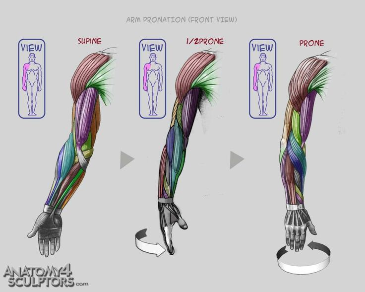 169 best [3b] anatomy: arms images on pinterest | anatomy, Human Body