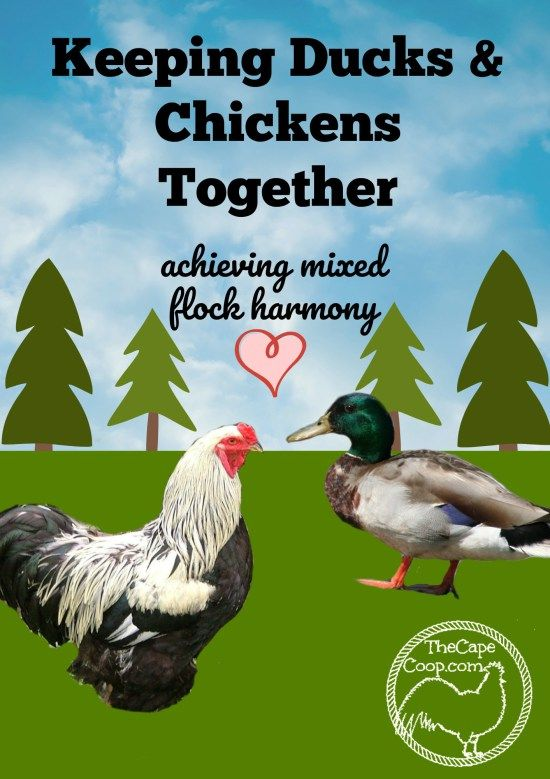 Raising Chickens & Ducks Together - The Cape Coop