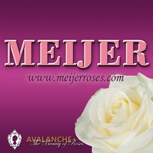 Meijer roses is a modern rose breeding company specialized in the production of the large-flowered Avalanche roses. In the Avalanche assortment of Meijer are the white Avalanche+, the soft pink Sweet Avalanche and the champagne colored Pearl Avalanche.