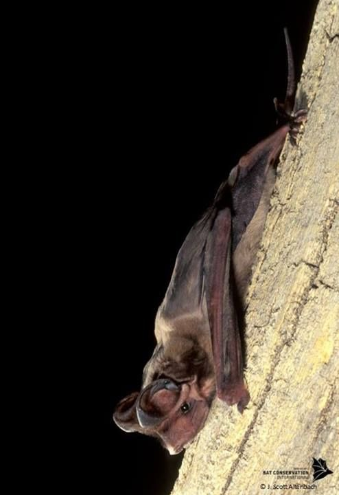 the florida bonneted bat has been battered by disappearing habitat and threatened by climate change - Images Of Bats 2