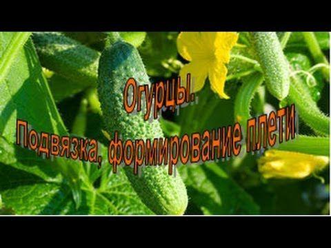 ОГУРЦЫ. Продолжаем тему пасынкования и правильного выращивания - YouTube