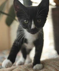William is an adoptable Domestic Short Hair-Black And White Cat in Dublin, OH.   Courtesy Listing:  William is a super cuddly kitten with adorable markings. It was hard getting photos of his handsome ...White Cat
