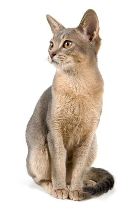 Blue Abyssinian Cat, just like my Monster (who hides under the bed at night and then climbs up and gives you love bites while you're sleeping).
