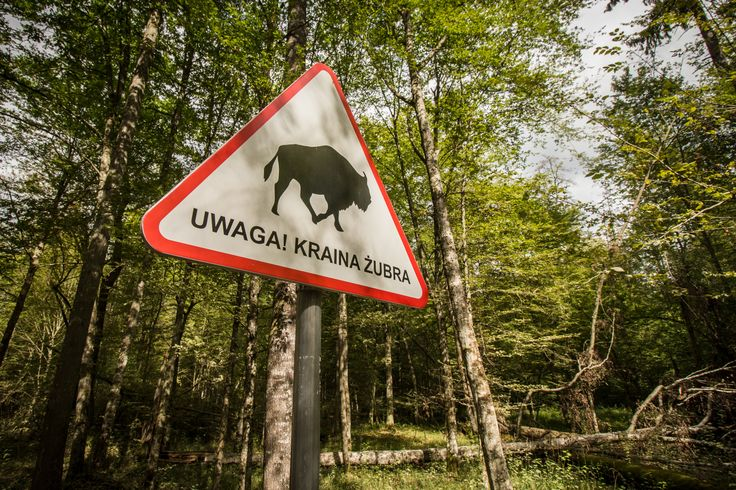 Białowieża Forest. The last remaining part of the immense primeval European forest.