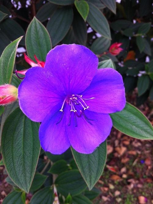 Flowers from my hometown Manizales (Colombia). Flores de mi ciudad Manizales - Colombia