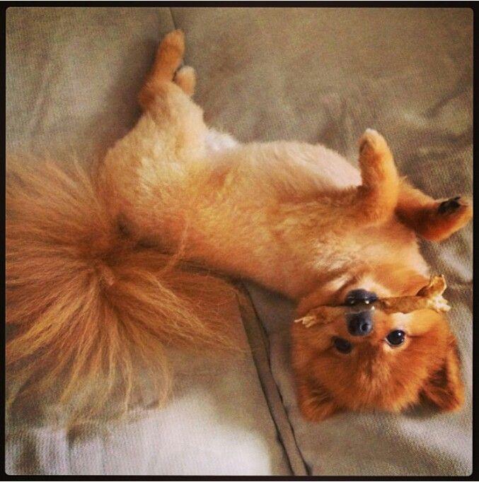 Super cute Pomeranian puppy