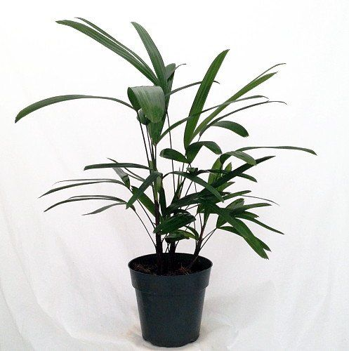Lady Palm U2013 Rhapis Excelsa U2013 Easy To Grow House Plant U2013 Pot