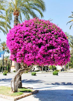 Giant Bougainvillea tree in Palma Majorca, Spain To book go to www.notjusttravel.com/anglia
