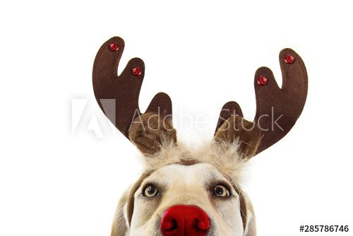 Close Up Labrador Dog Christmas Reindeer Antlers Costume Isolated